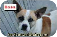 Jack Russell Terrier/Terrier (Unknown Type, Small) Mix Dog for adoption in Talking Rock, Georgia - Boss