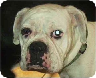 Boxer Dog for adoption in Coudersport, Pennsylvania - STITCH