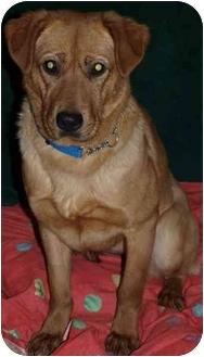 Golden Retriever/Labrador Retriever Mix Dog for adoption in Toronto/Etobicoke/GTA, Ontario - Rosebud