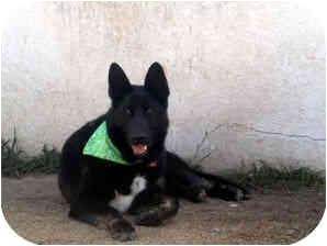 German Shepherd Dog Mix Dog for adoption in Santa Fe, New Mexico - Bear