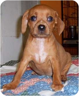 Dachshund/Chihuahua Mix Puppy for adoption in Olive Branch, Mississippi - Widdle Get Me Love