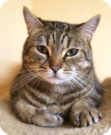 Domestic Shorthair Cat for adoption in Medford, Massachusetts - Arty