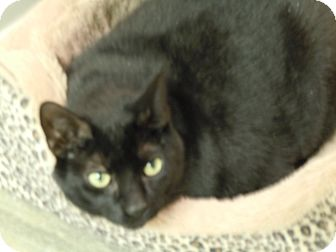 Domestic Shorthair Cat for adoption in Warminster, Pennsylvania - Poncho