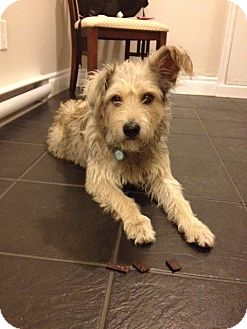 Terrier (Unknown Type, Medium) Mix Dog for adoption in Vancouver, British Columbia - Romeo - Adoption Pending