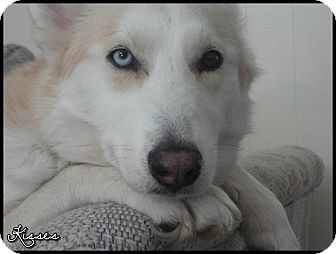 Siberian Husky Dog for adoption in Virginia Beach, Virginia - Kisses-Courtesy Listing-IL