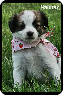 Jack Russell Terrier Mix Puppy for adoption in Cranford, New Jersey - Jack Russell Mix Puppies