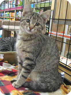 Domestic Shorthair Kitten for adoption in Rochester, Minnesota - Mr. Noodles