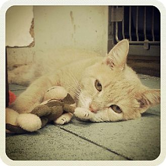 Domestic Shorthair Cat for adoption in Dedham, Massachusetts - Dooley