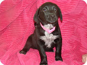 Labrador Retriever/Mastiff Mix Puppy for adoption in Rochester, Minnesota - Anna