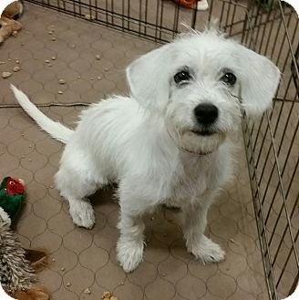 Terrier (Unknown Type, Small)/Beagle Mix Puppy for adoption in Phoenix, Arizona - Plumpcious