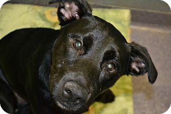 Labrador Retriever Mix Dog for adoption in Edwardsville, Illinois - Cheyenne