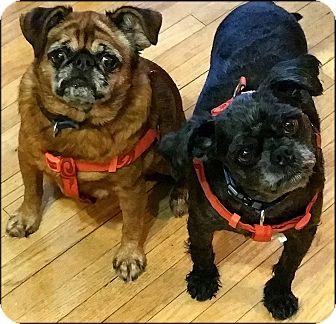 Affenpinscher/Brussels Griffon Mix Dog for adoption in St. Paul, Minnesota - ATTICUS & MOLLY- ADOPTION PEND