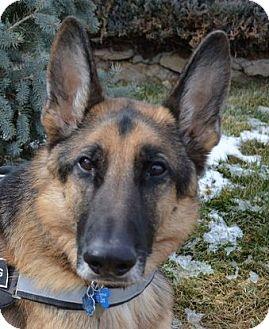 German Shepherd Dog Dog for adoption in Denver, Colorado - Kodi