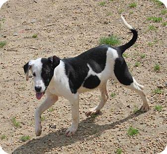 Labrador Retriever Mix Puppy for adoption in East Hartford, Connecticut - Kia in CT