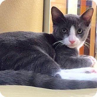 Domestic Shorthair Kitten for adoption in Long Beach, New York - Gatsby