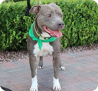 American Pit Bull Terrier Mix Dog for adoption in Las Vegas, Nevada - GIRLY