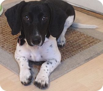 Dachshund/Basset Hound Mix Dog for adoption in Chicago, Illinois - Simba*ADOPTED!*