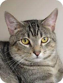 Domestic Shorthair Cat for adoption in Medford, New Jersey - Lil Deer (Belle's Kitten)