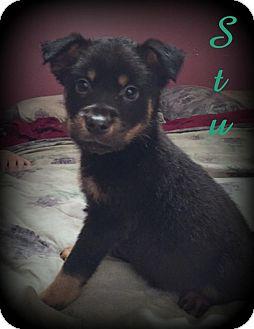 Retriever (Unknown Type)/Rottweiler Mix Puppy for adoption in Denver, North Carolina - Stu