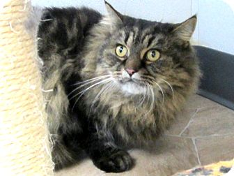 Domestic Longhair Cat for adoption in Republic, Washington - Tiger