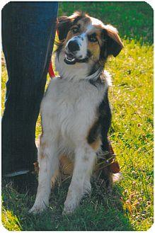 Border Collie Mix Dog for adoption in Woodburn, Oregon - Rosco