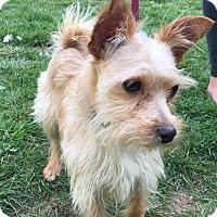 Adopt A Pet :: Niko - Tumwater, WA