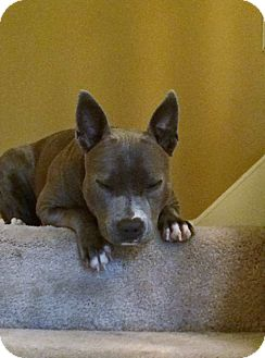 Bulldog/French Bulldog Mix Dog for adoption in Knoxville, Tennessee - SKY
