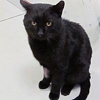 Domestic Shorthair Cat for adoption in Columbus, Ohio - Otto
