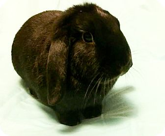 Mini Lop Mix for adoption in Waynesboro, Virginia - Jack