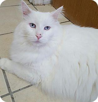 Domestic Longhair Cat for adoption in Owenboro, Kentucky - SAMSON