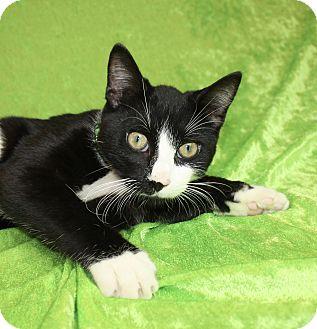Domestic Shorthair Cat for adoption in Jackson, Michigan - Flip