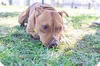 Terrier (Unknown Type, Medium)/American Pit Bull Terrier Mix Dog for adoption in Fulton, Missouri - Cheesy- Ohio