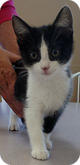 Domestic Shorthair Kitten for adoption in Divide, Colorado - Quinlan
