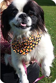 Pekingese Dog for adoption in Canton, Ohio - Gizzy