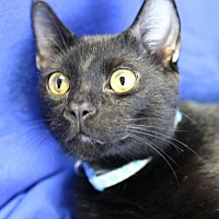 Domestic Shorthair Cat for adoption in Winston-Salem, North Carolina - Ricky