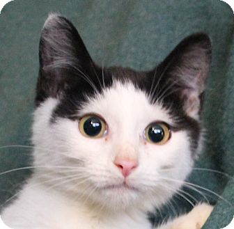 Domestic Shorthair Kitten for adoption in Colonial Heights, Virginia - Domino