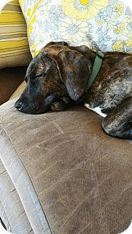 Hound (Unknown Type) Mix Puppy for adoption in Old Bridge, New Jersey - Adonis