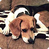 Adopt A Pet :: Gracie - Houston, TX
