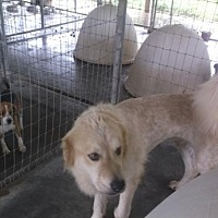 Great Pyrenees Dog for adoption in Bonifay, Florida - Rylie