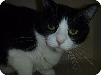 Domestic Shorthair Cat for adoption in Hamburg, New York - Betty Boop