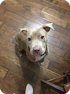 American Pit Bull Terrier Mix Dog for adoption in Mansfield, Texas - Bebe