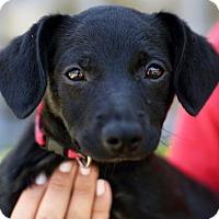 Adopt A Pet :: Baltica - San Diego, CA