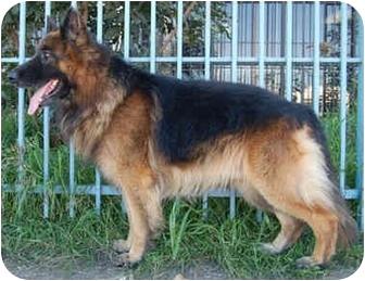 German Shepherd Dog Mix Dog for adoption in Los Angeles, California - Chopper von Carlsbad