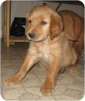 Golden Retriever Puppy for adoption in Evansville, Indiana - Golden Girls