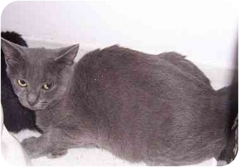 American Shorthair Cat for adoption in Alexandria, Virginia - Omicron