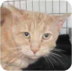 Domestic Shorthair Cat for adoption in Chicago, Illinois - Philip