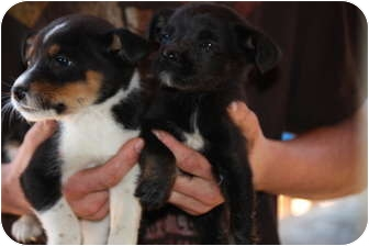 Jack Russell Terrier/Chihuahua Mix Puppy for adoption in Prince William County, Virginia - breela