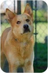 Husky Mix Dog for adoption in Williamsburg, Virginia - Duke