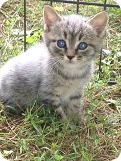 American Shorthair Kitten for adoption in Foster, Rhode Island - Alex