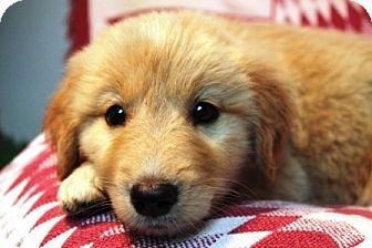 Golden Retriever Mix Puppy for adoption in Hainesville, Illinois - Hazel